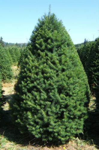 Christmas tree types available at Big Wave Dave's